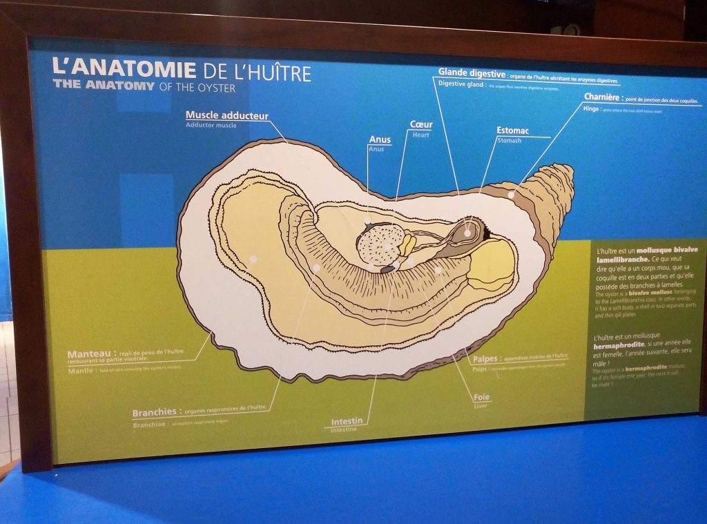 maison-huitre-anatomie
