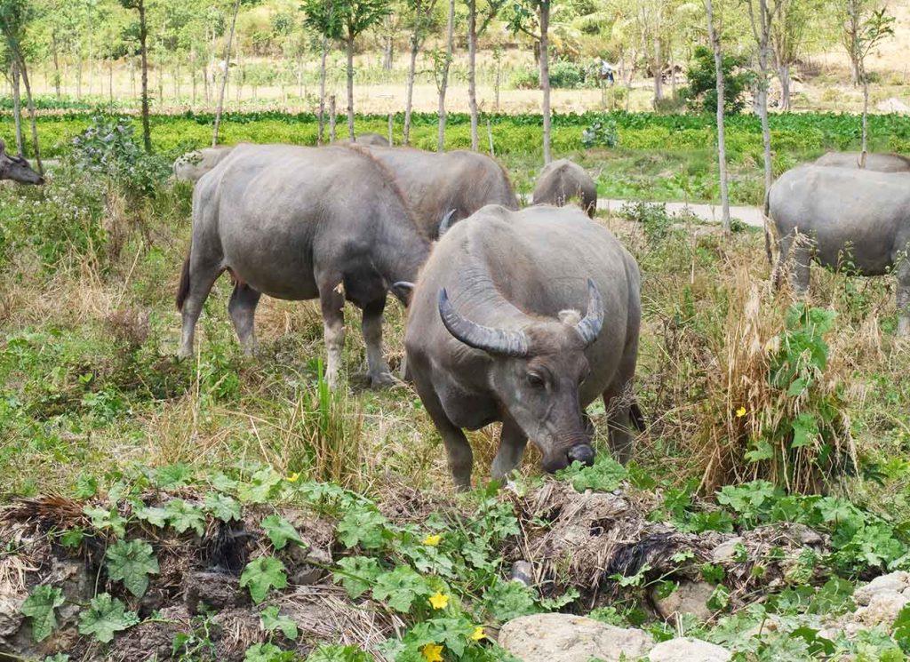 buffles-lombok