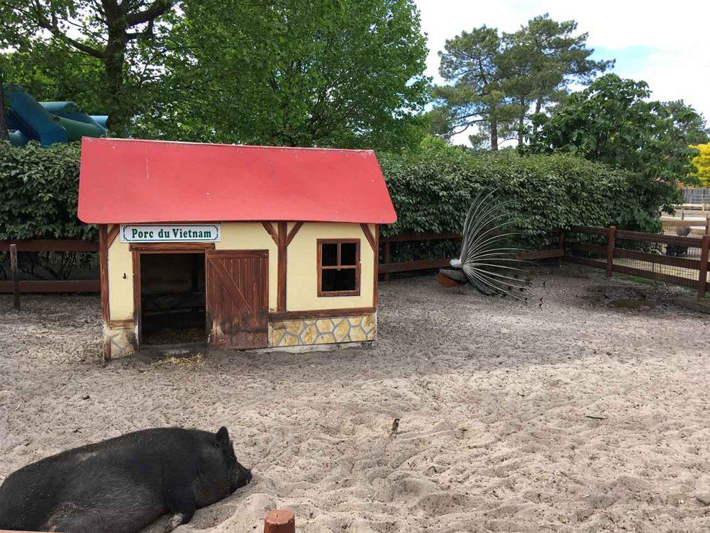 porc-vietnam-la-coccinelle